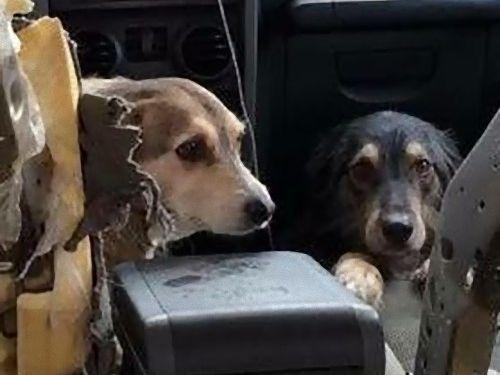 「犬2匹が車の中ではしゃぎ過ぎ」02