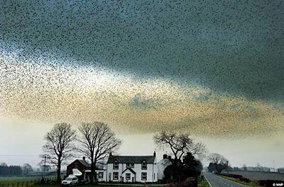 空が真っ黒になるほどの鳥の大群01