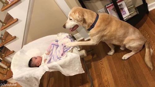 赤ちゃんのゆりかごを揺する犬01
