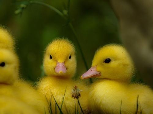 アヒルのヒナ3羽が胸の上でウトウト