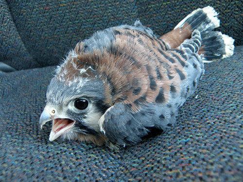 14動物の赤ちゃんたち・Baby hawk