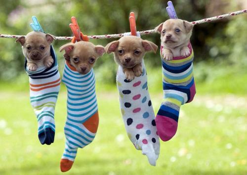 洗濯物として干された子犬たち04