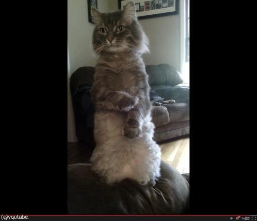 人間のように立つ猫05