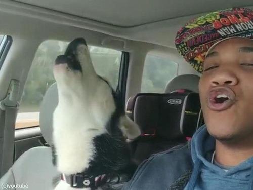 飼い主さんの歌声に遠吠えでハモってくれる犬02