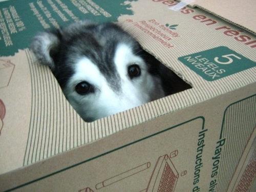 猫みたいなハスキー犬01