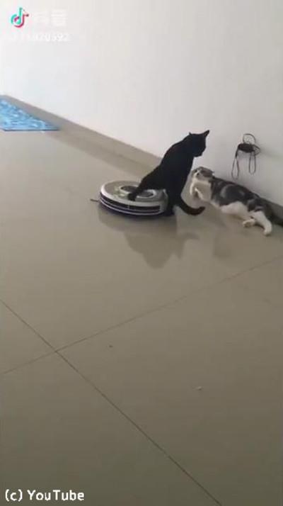 「邪魔ニャ」ケンカ中、近づいてきたルンバを押しのける猫様02