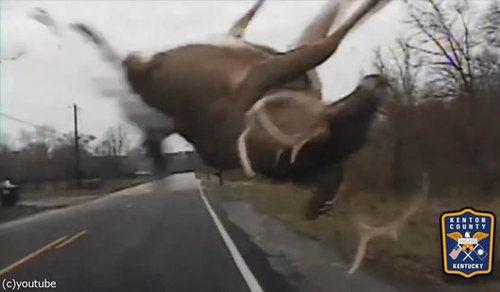 鹿とパトカーが接触事故02