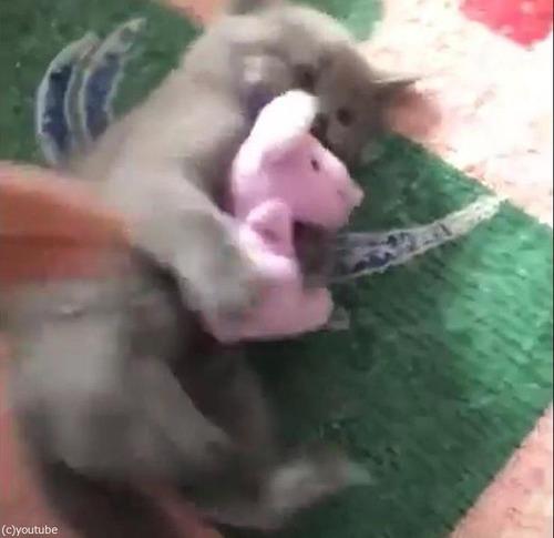 ぬいぐるみを離さない子猫02