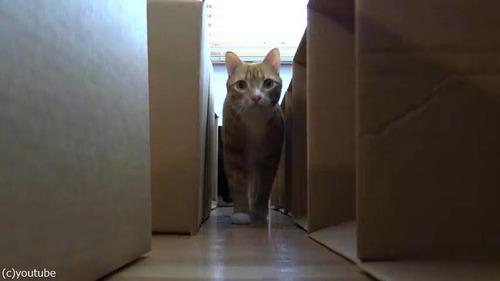 猫2匹にダンボール迷路をプレゼント05