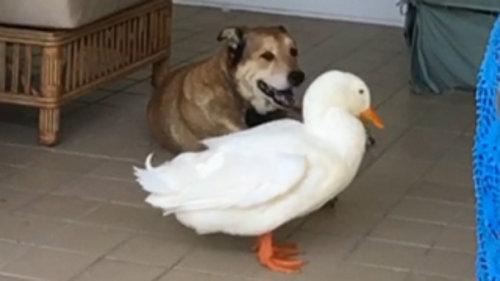 アヒルと出会って元気を取り戻した犬09