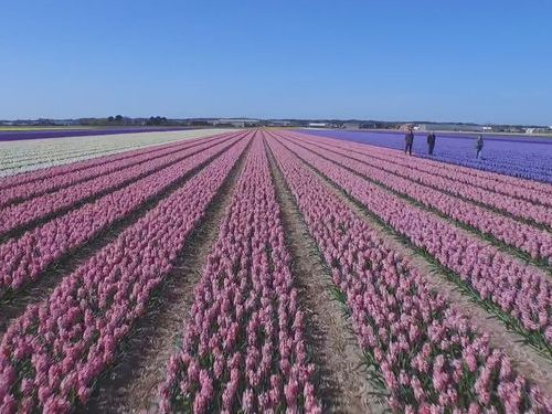 オランダのお花畑をドローンで上空から撮影00