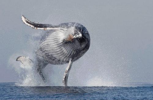 クジラが大きなイルカだと実感できる写真01