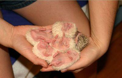 ハリネズミの赤ちゃん12