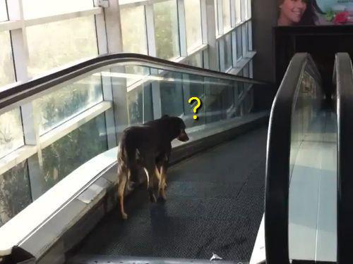 エスカレーターを逆走する犬