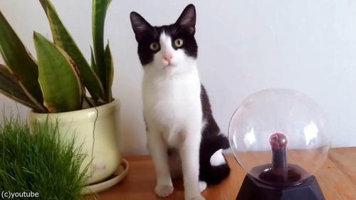 プラズマボールが気になる猫03