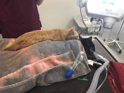 動物病院で他の動物たちを世話する猫02