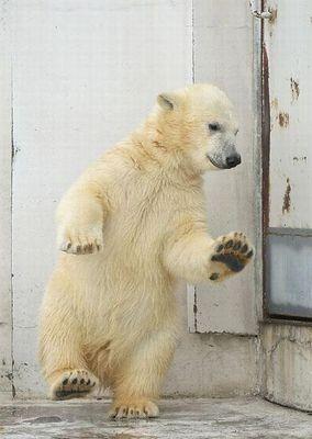 白クマのダンス01