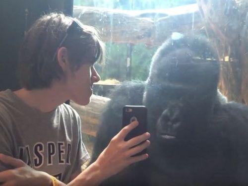 ゴリラにゴリラの写真を見せてみた01
