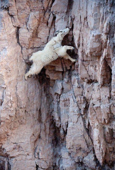 崖の上のヤギ07