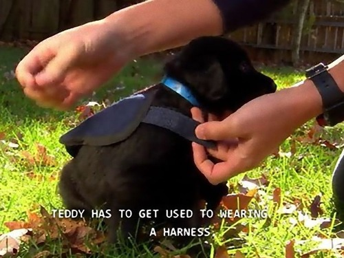 サービス犬の子犬01