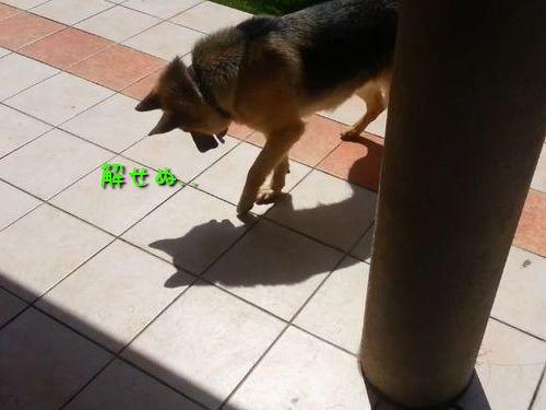 自分の影で遊ぶ犬00