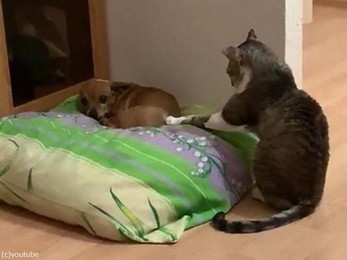 犬と仲良しになりたい猫03