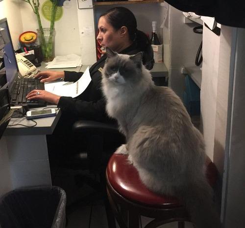 ホテルに勤続7年の猫が引退06