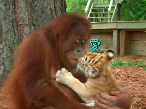 虎の赤ちゃんとオランウータン00
