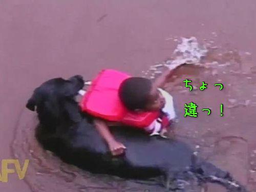 溺れてなくても救助する犬00
