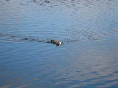 川に猫01