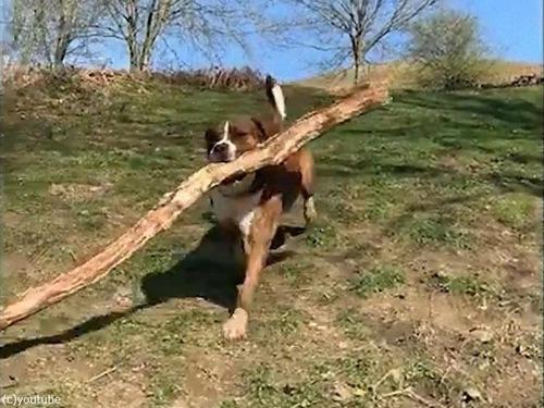 大きな枝を拾ってくる犬01