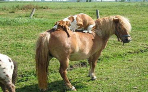 馬に騎乗する犬04