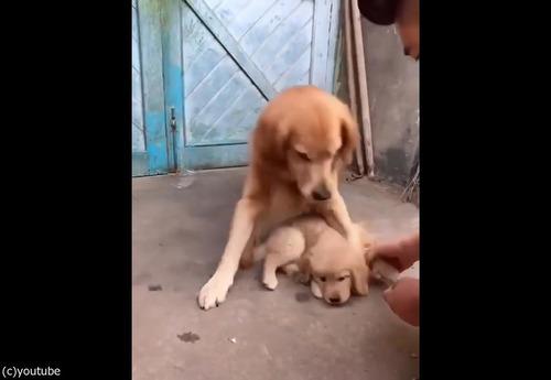 過保護な犬03
