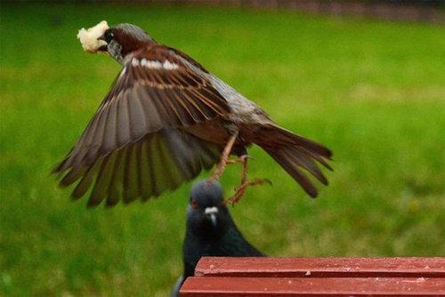 鳩の失敗08