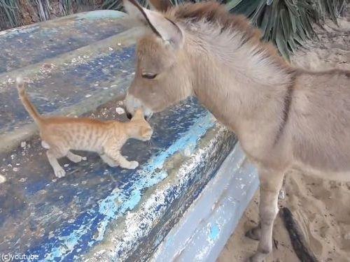 子猫とロバの友情02