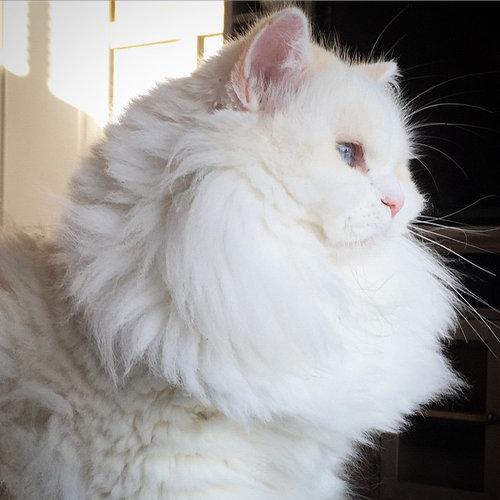 ライオンみたいなたてがみの猫たち07