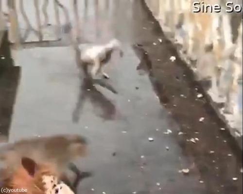 サルも水たまりですべる03