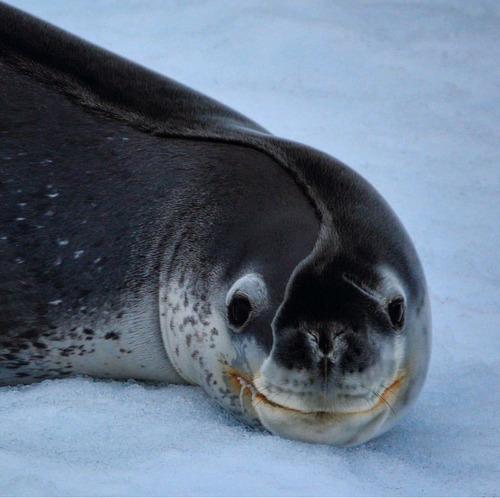 アザラシが氷の上で昼寝をすると01
