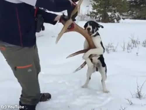 愛犬が雪の中で何か見つけたようだ…すごい執着心00