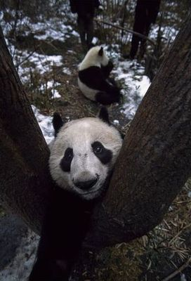 雪で大はしゃぎのパンダ親子06