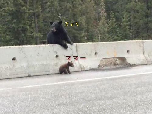 高速道路から子グマを助け出す母グマ00