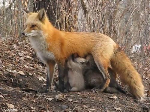 なんという母性!小熊にお乳をあげるキツネ01