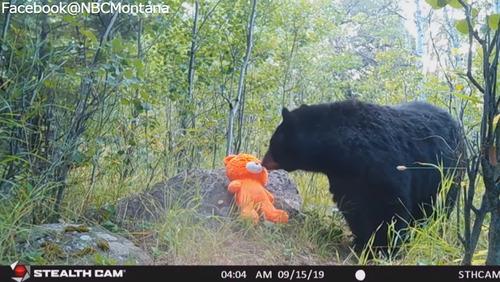 テディベアと遊ぶ野生のクマ01
