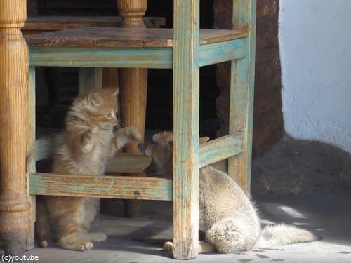 子ギツネと子猫07
