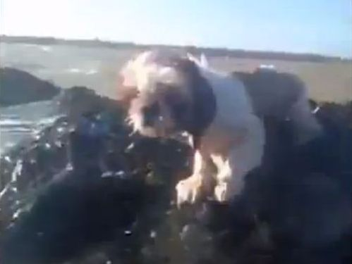 シーズー犬が奇跡的に救出
