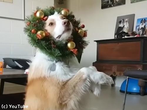 クリスマスが待ちきれない犬03
