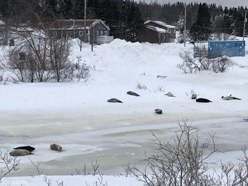 カナダの街で40匹のアザラシが迷子に03