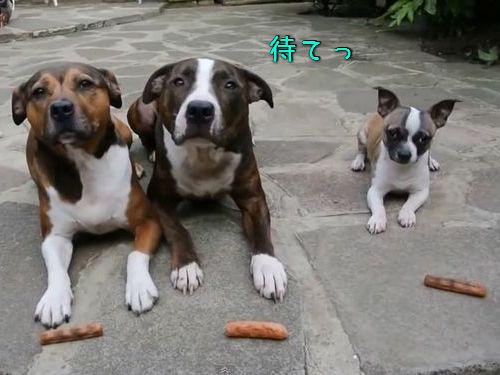 3匹の犬に「待て」00