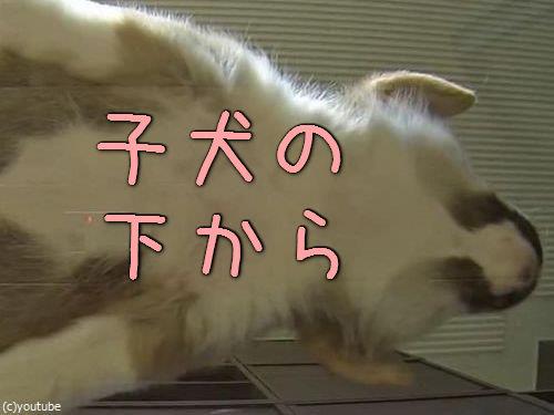 子犬をガラステーブルの下から見る00