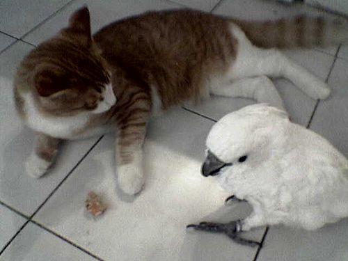 インコと猫09